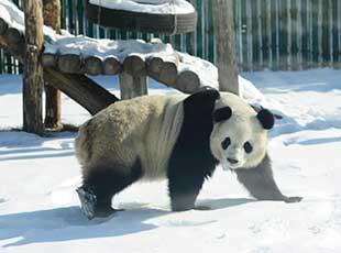 中国最北熊猫馆 明星熊猫雪中撒欢
