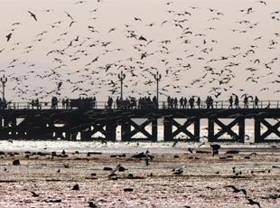 青岛栈桥最佳期观鸟期 万鸥齐飞遮天蔽日