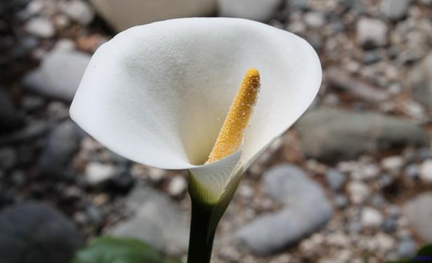 马蹄莲、红掌插花制作与欣赏