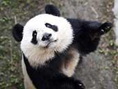 """旅美大熊猫归国首秀 双胞胎""""萌宝""""欢乐多"""