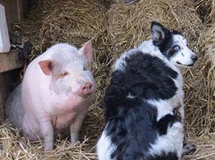 牧羊犬离世 好友英猪宝宝哀痛令人动容