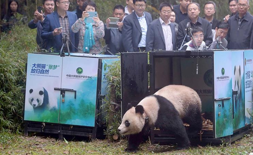 """大熊猫这一年的""""网红""""生活"""