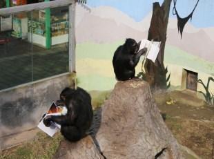 黑猩猩在读书 你有什么理由不努力