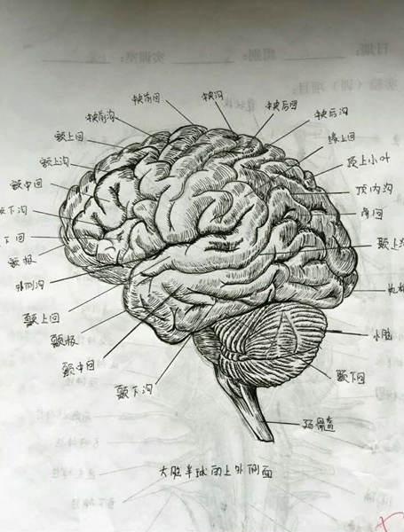 女大学生手绘人体解剖图太逼真 网友:印出来的