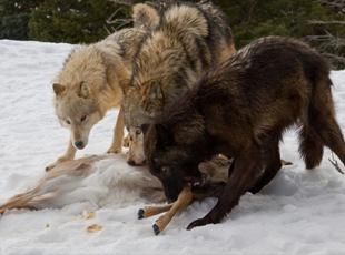 血红的牙齿和利爪:狼群为保护猎物与熊开战