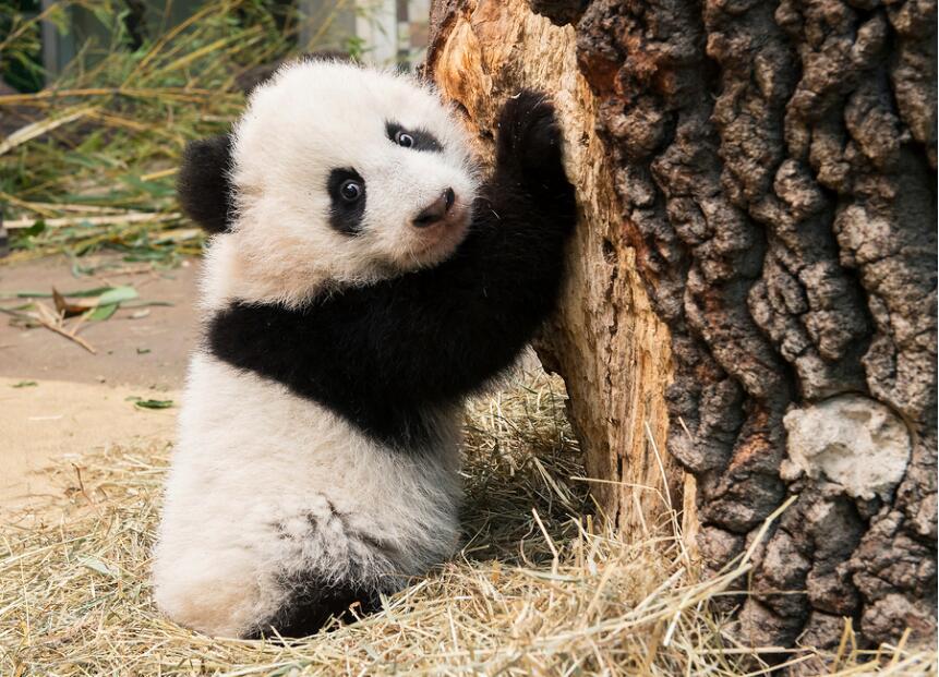 旅居国外的大熊猫卖萌拜年 2016年11月7日,中国大熊猫保护研究中心旅居奥地利美泉宫动物园大熊猫双胞胎亮相卖萌迎新年。 近日,中国大熊猫保护研究中心举办熊猫拜年暨全球大熊猫迎新年活动,全球大熊猫宝宝通过各种形式给世界人民拜年。 组图为在当地时间1月6日,大熊猫阳阳和它的双胞胎宝宝福伴福凤首次亮相奥地利维也纳动物园,给全球人民拜年。