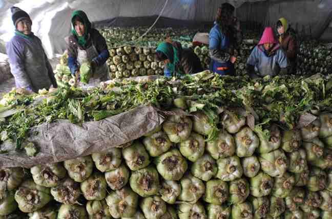 吉林'蔬菜基地'白菜堆满仓库 菜农囤千万斤等涨价