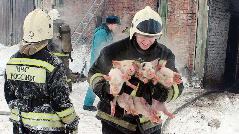 俄消防员火海救猪 怀抱猪崽接力营救画面感动众人