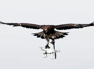法国军方训练金雕抓捕非法飞行无人机