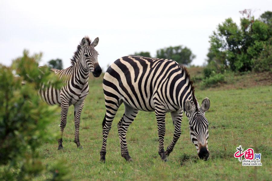 斑马             它是马属动物,因身披极为复杂的黑白斑纹而