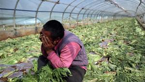 云南嵩明蔬菜滞销 菜农痛心砍掉上千吨蔬菜