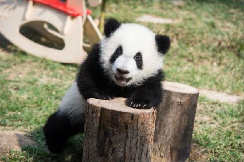 """美媒回顾中国""""熊猫外交""""历史"""