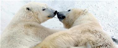 俄动物园白熊情侣秀恩爱 曾成功预测特朗普当选