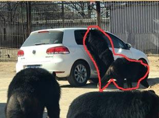 北京野生动物园轿车遭黑熊围堵
