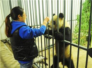 """大熊猫""""蜀兰""""抵达都江堰基地接受代养 开启调理模式"""