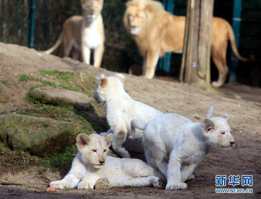 动物园里的小白狮[组图]