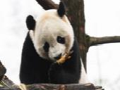 海归大熊猫快乐入住新家