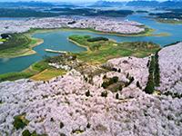 赏樱狂欢 空中鸟瞰贵州贵安新区万亩樱花海初春绽放[组图]