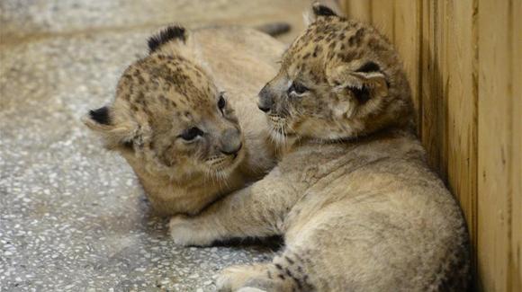非洲狮幼崽