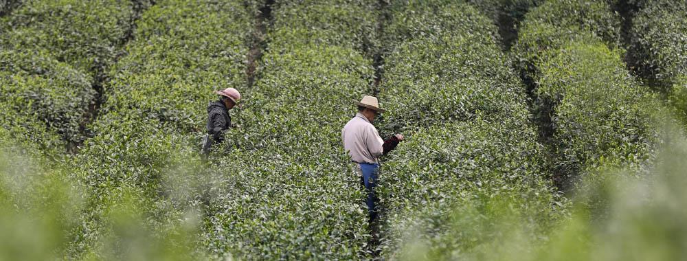 """峨眉山5000亩茶园 对有机茶的""""绿色""""坚守"""