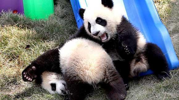 合起来就是胖!大熊猫龙凤胎得名'月月''半半'