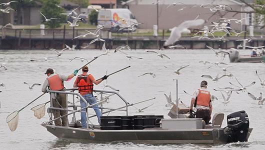 丹麦生蚝泛滥帖文引围观 看国外如何应对物种入侵