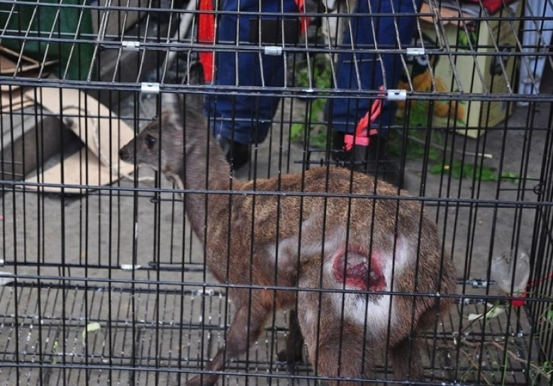 村民起床后在家发现国家一级保护动物( 02 / 4 )