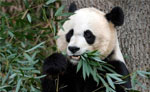 中国熊猫在美国被虐?挨饿?遭电击? 没这回事!