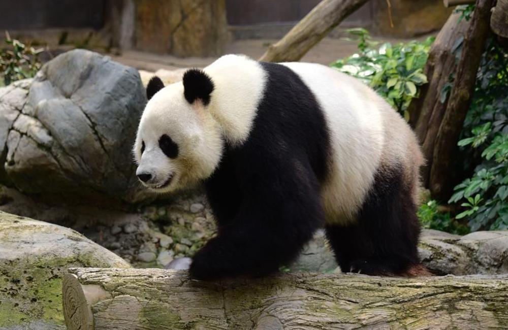 大熊猫乐乐与盈盈在香港交配完成 静候佳音