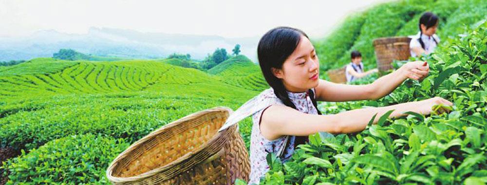 天府龙芽海外订单首次破亿 川茶集团给出5组密码