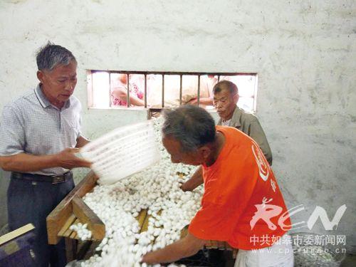 如皋春茧产量价格创新高 蚕农喜获丰收