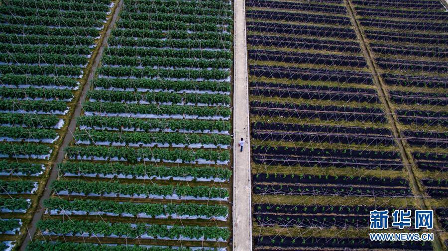 (香港回归二十周年)(1)从田间到菜篮——供港蔬菜的跨境之旅