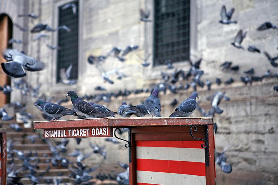 耶尼清真寺外有许多鸽子
