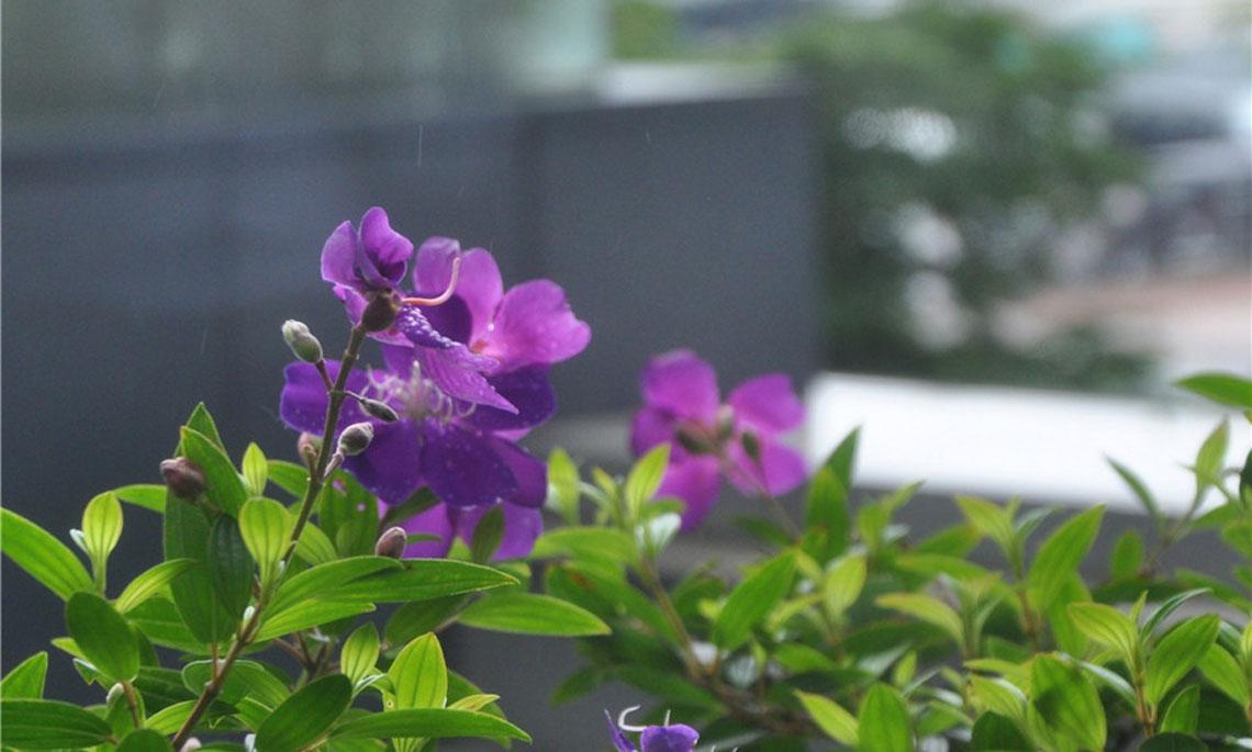 【香江20年】紫荊花開燦爛慶回歸