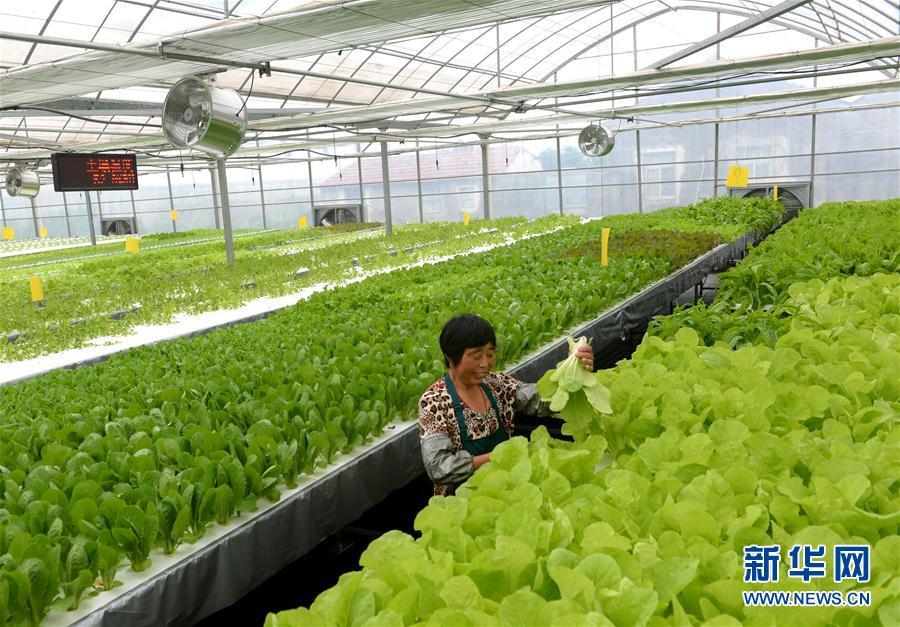 在江苏启东市嘉禾力农业发展有限公司智能电力恒温大棚内采摘有机蔬菜