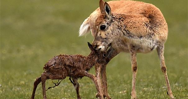 在'生命禁区'迎接新生——首次直击藏羚羊产仔