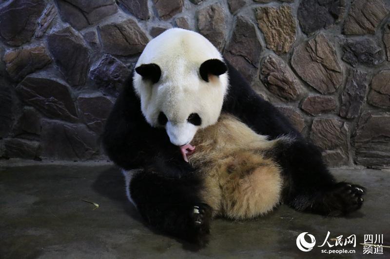 """大熊猫""""晶晶""""与新生幼崽.(图片由成都大熊猫繁育研究基地提供)"""