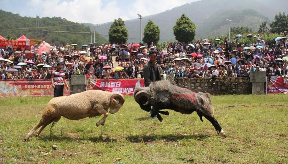 2017凉山火把节开幕 斗牛斗羊大赛引众人围观