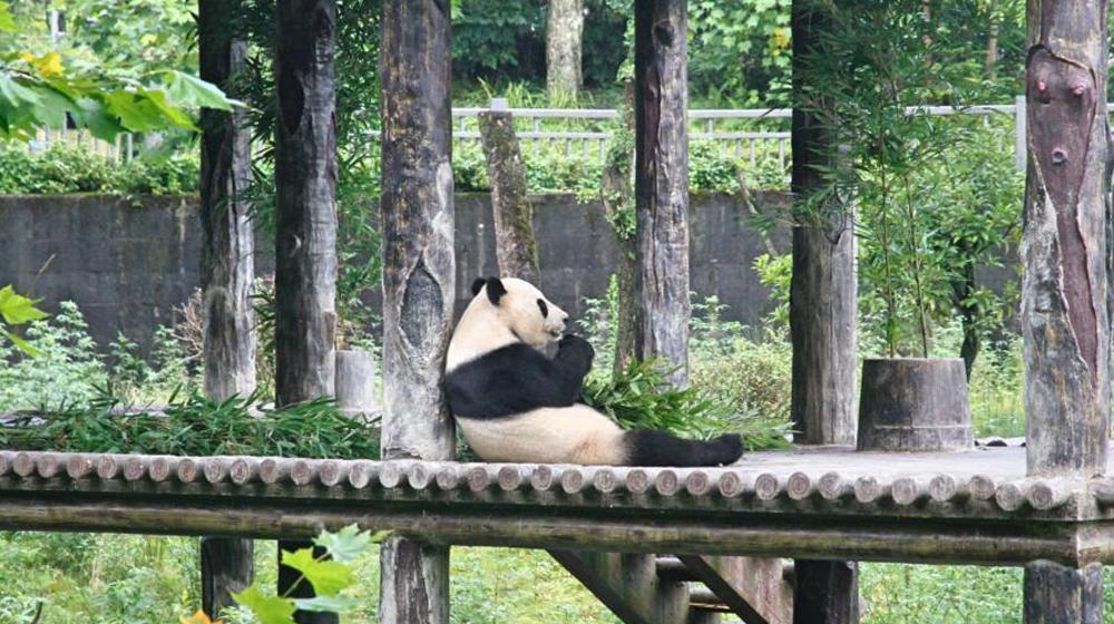 """探访大陆赠台大熊猫""""团团""""""""圆圆""""雅安居所"""