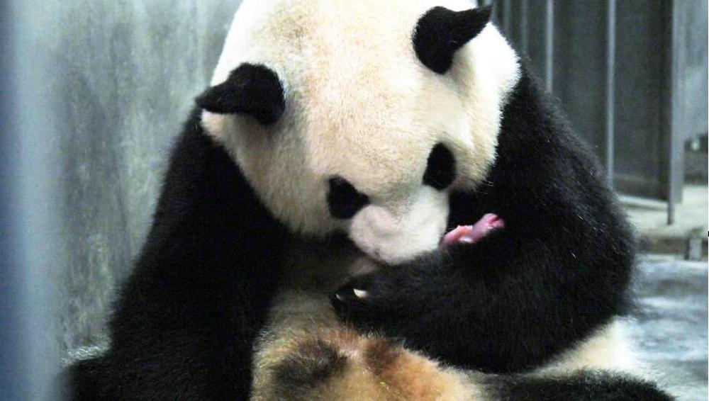 """成都大熊猫""""二巧""""顺利产仔"""