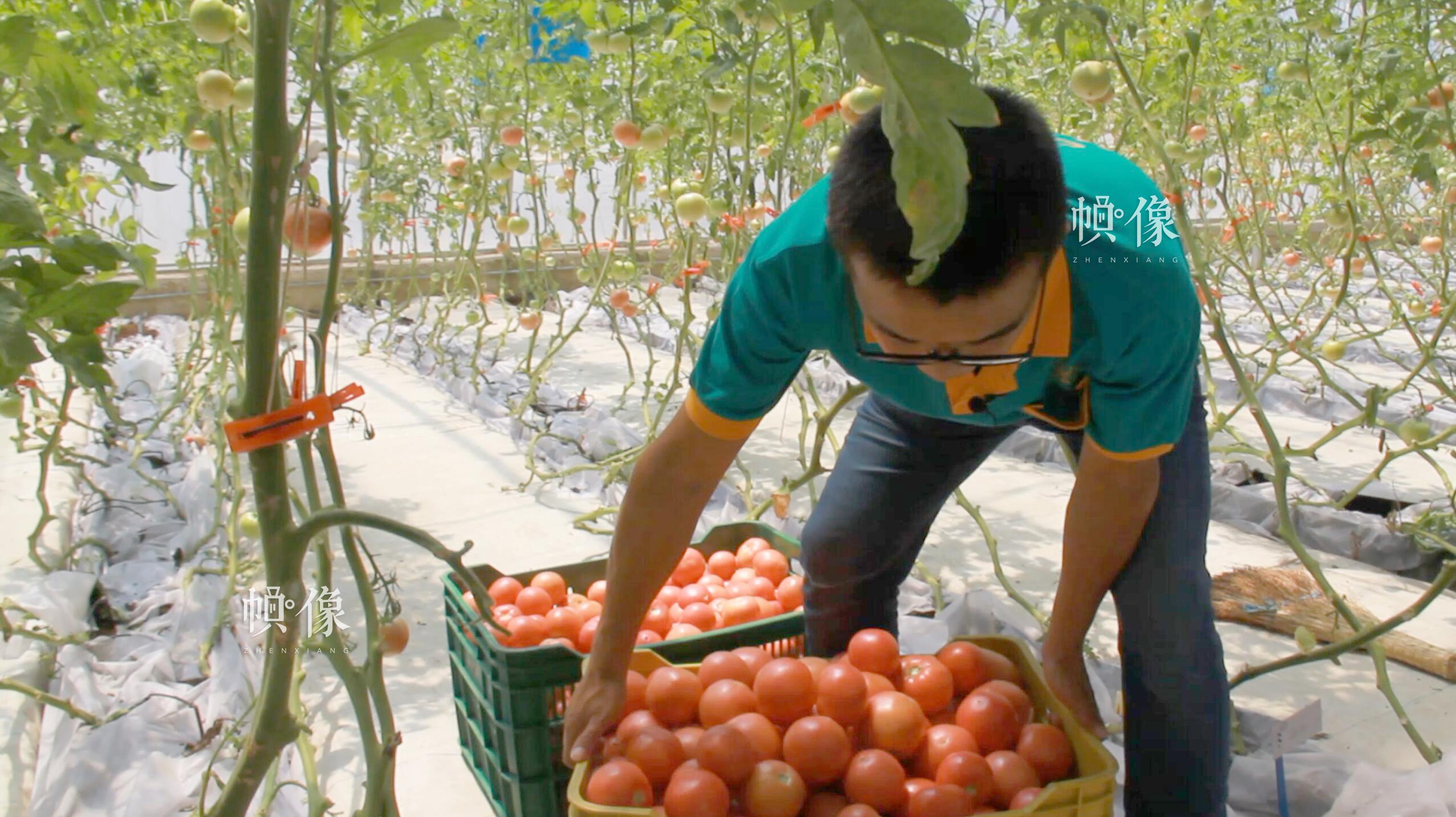 北京天安农业小汤山特菜基地技术员对蔬菜进行分拣。 中国网记者 赵超 摄