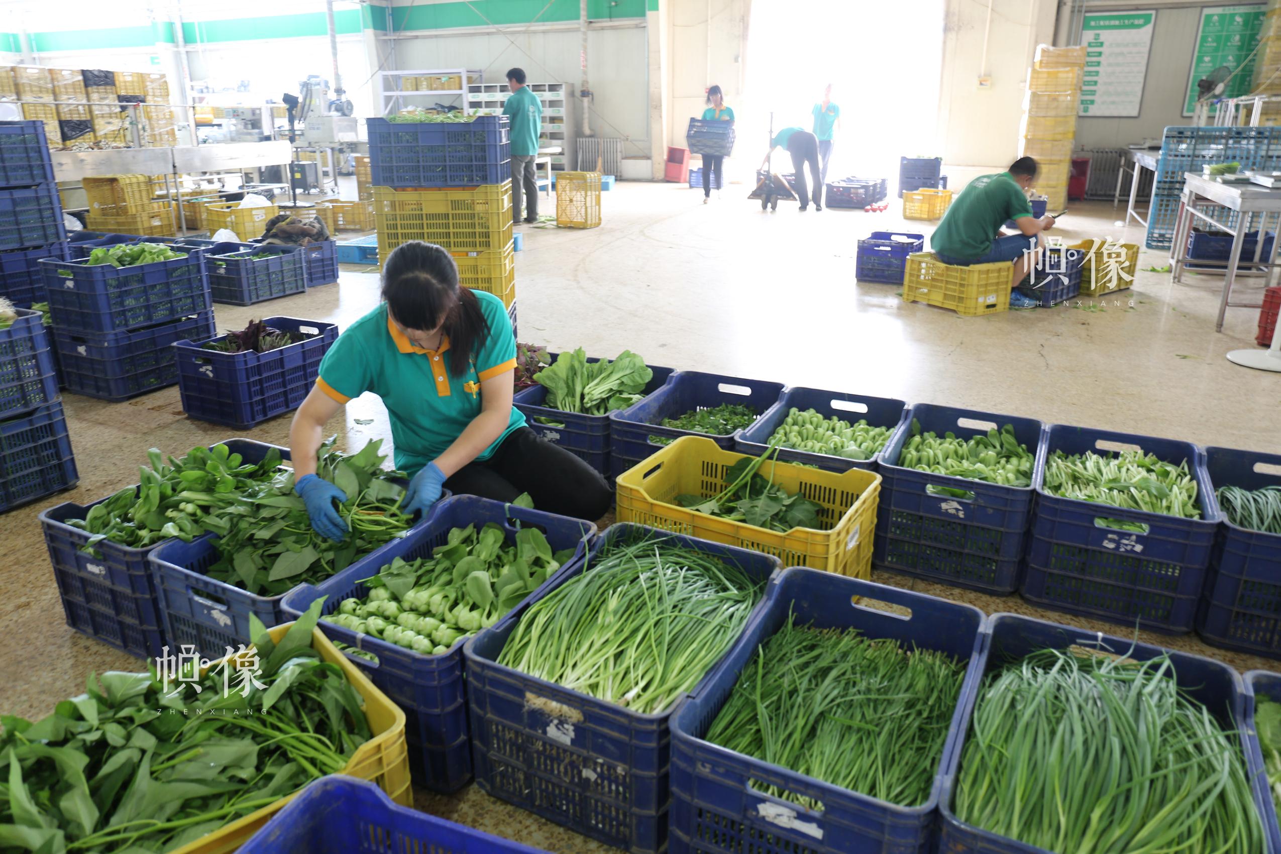 北京天安农业小汤山特菜基地员工对蔬菜进行包装处理。中国网记者 赵超 摄