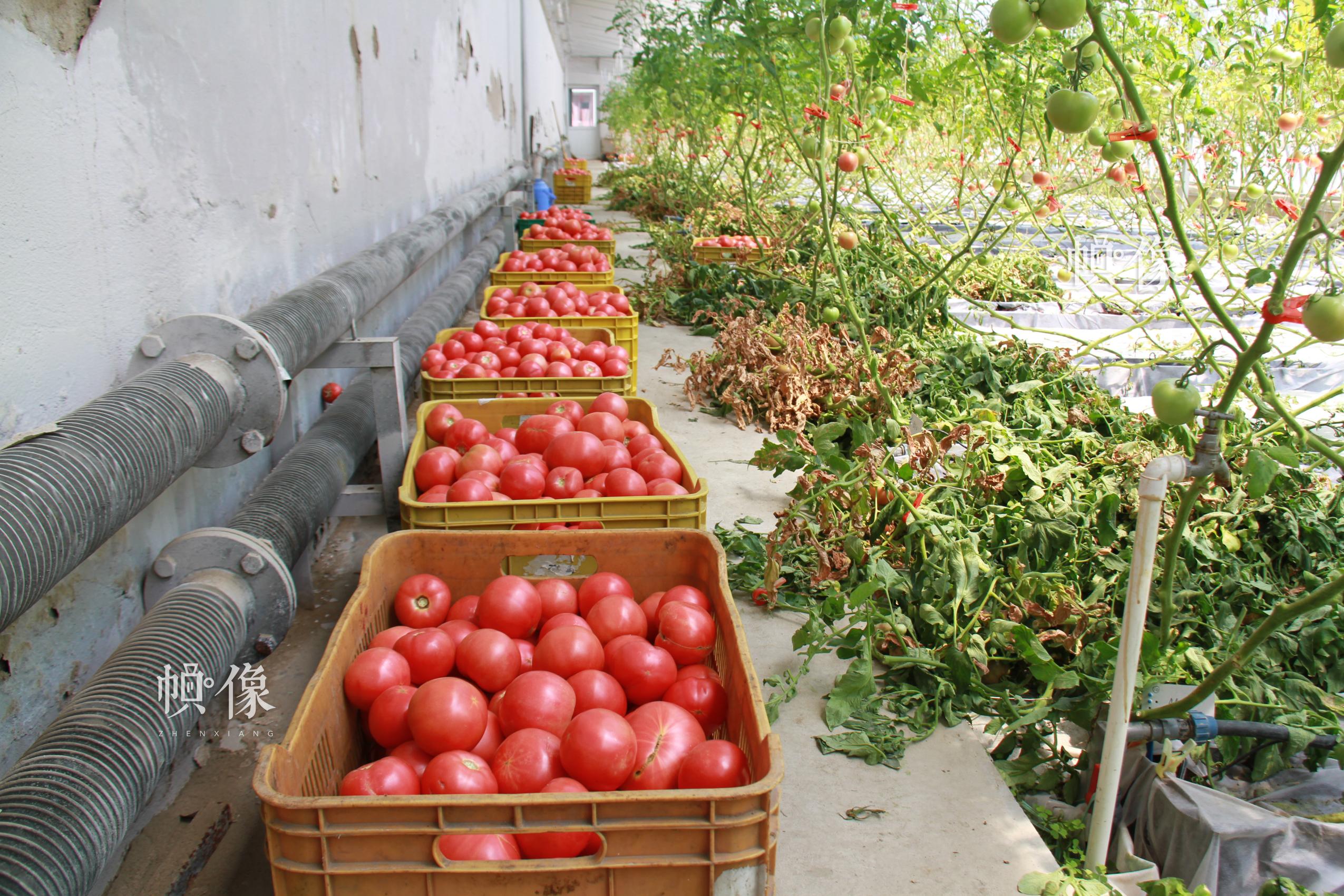 北京天安农业小汤山特菜基地刚摘下的数筐西红柿。中国网记者 赵超 摄