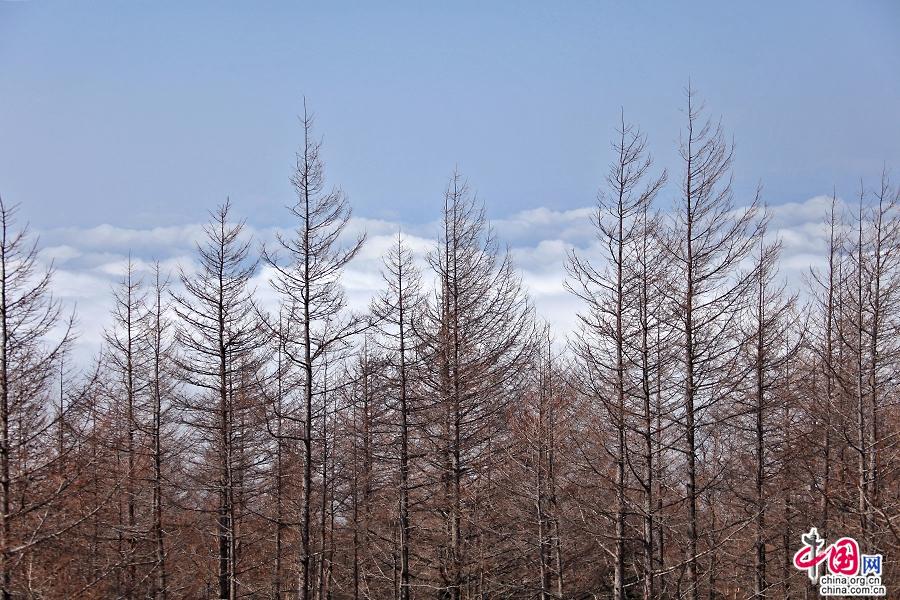 四合目的针叶林