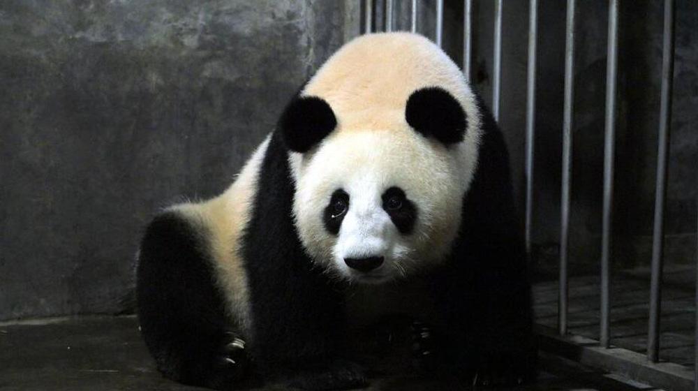 """成都大熊猫""""小丫头""""顺利产仔 产仔日期与前年相同"""