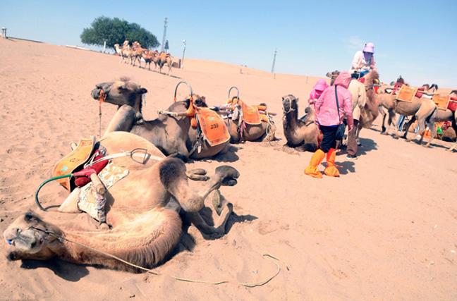 甘肃敦煌暑期游客爆满 月牙泉骆驼累趴
