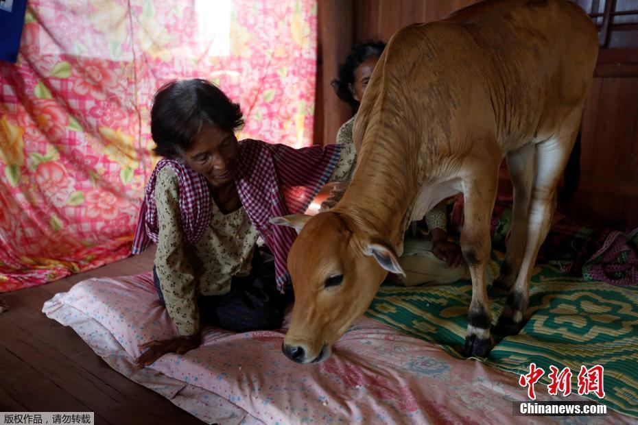 柬埔寨寡妇屋内养牛 坚信牛是丈夫转世