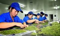 重庆市秀山红星中药材开发有限公司工人在挑选优质金银花.JPG