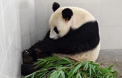 23岁大熊猫'海子'产下双胞胎 创大熊猫产仔最高年龄记录[组图]