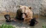 """乌克兰小村庄建""""熊之家"""" 获救棕熊很安逸"""